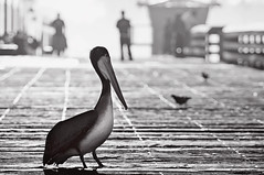 Resident Pelican (pixelmama) Tags: california morning blackandwhite bw monochrome pier fisherman bokeh pelican approved imperialbeach hss justaftersunrise eightdaysaweek pixelmama sliderssunday iblovinthispier