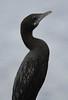 Little Cormorant (Wild Chroma) Tags: birds niger cormorant srilanka phalacrocorax naturetrek phalacrocoraxniger nonpasserines muthurajawela microcarbo microcarboniger