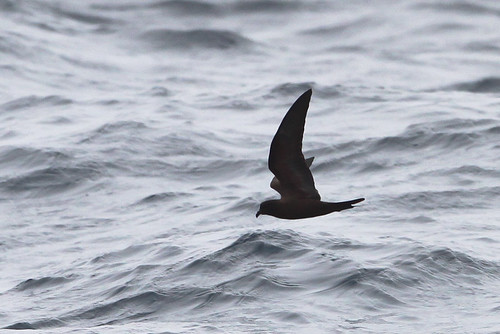 <p>The Black Storm-Petrel, a Mexican breeder, is larger and darker than the Ashy. It also has a broader wing (particularly at the wrist) and a longer inner wing; when they flap they remind one of a nighthawk, quite unlike the more bat-like Ashy Storm-Petrel. The uderwings on the black are uniformly dark, while Ashy has a pale flash on the underwing. </p>