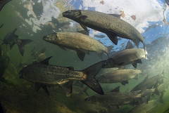 Beautiful Swarm (Fish as art) Tags: winter fish canada water nikon schwimmen north fisch rapids arctic cisco northwestterritories migration spawning whitefish poisson current vendace yellowknife kleine underwaterphotography schoolingfish flir fiskur yellowkniferiver coridoras ikelite fishschool stromschnellen stryk  unterwasserfotografie sielawa undervannsfotografering lagesild dipesce podvodou lakewhitefish vedenalainen coregonids ciscoes whiefish heltling coregonusartedi nikoncanadakanada elvafisk neansjvar  undervattensfotografering vzalattifotzs