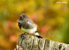 Black Phoebe (Lorcan Keating) Tags: sanfrancisco goldengatepark bird wildlife botanicalgardens blackphoebe sayornisnigricans sanfranciscobotanicalgardens wildfowlpond