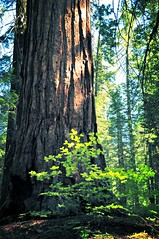 The big tree (faungg) Tags: old travel trees green nature pine woods hiking trail national yosemite trunk inside yosemitenationalpark   grenn