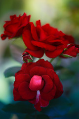 Amore in the garden (SolsticeSol) Tags: flowers red roses flower nature beautiful beauty rose vertical closeup garden outdoors photography petals dusk rosa romance petal romantic onflickr beautifulflowerpictures beautifulflowerimages