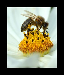 Bee collecting pollen (Annette Rumbelow) Tags: camera flower macro nature berkeley shots wildlife sony insects bee pollen collecting pollinators a550 annetterumbelow castlegroundsgardens