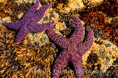 Starfish in Tidal Pool 2 (chasingthelight10) Tags: travel nature photography landscapes events places vancouverisland coastal beaches westcoast forests wildernesstrails otherkeywords