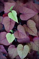 hearts of purple (iluminadora) Tags: plant verde green planta purple heart vine fc corazn morado vid ipomea