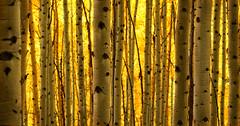 Liquid (dlanglois2) Tags: autumn tree yellow forest canon landscape woods colorado natural trunk nik aspen