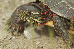 Foot-long Painted Turtle (Nancy A-T ~ obsessive gardener) Tags: nature closeup photo turtle painted amphibian paintedturtle nancyarmstrongt