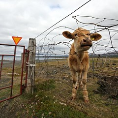 VS (Marco Bellucci) Tags: road brown lake sign cow iceland wire cloudy roadsign mucca myvatn islanda filospinato