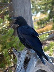 Northern Raven (
