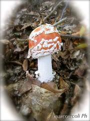 mushroom-011 (marco.ercoli) Tags: nature mushrooms natura funghi marche appennino bosco photograpy sibillini