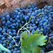 2012 Dilworth Cabernet Harvest 0014