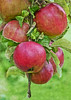 An Apple A Day Keeps The Doctor Away (Rosita So Image) Tags: texture apple fruit ringexcellence