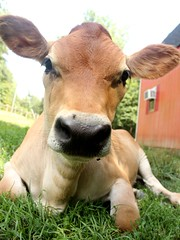 Why Hello! (lacybekah) Tags: grass barn cow jimmy jersey steer calf slimjim jerseycalf