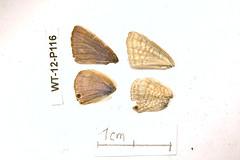 WT-12-P116 Lampides boeticus (lepdatabase) Tags: kenya lycaenidae polyommatinae polyommatini lampides boeticus