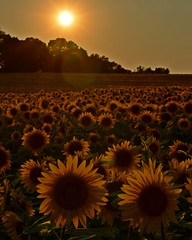 (armykat) Tags: maryland sunflowers flare goldenhour harfordcounty justbeforesunset