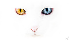 [ (yellow) white (blue) ] (bigmike.it) Tags: pink blue hk white yellow cat nose blu background occhi giallo highkey colori gatto bianco due sfondo oddeyed heterochromia iridum eterocromia bestcapturesaoi mygearandme ruby5 rememberthatmomentlevel1 rememberthatmomentlevel2 wwwbigmikephotoit