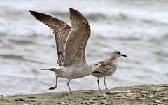 Yellow-legged Gull (immature) (-Filippos-) Tags: sea nature birds coast gull cyprus seashore kypros yellowlegged larusmichahellis