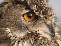 the reflex (Felipe G.Fuertes) Tags: españa spain catalonia owl catalunya cataluña spagna búho espanya santboi mussol flickraward zd70300 olympuse520 felgab fgfuertes fotógrafosdecornellà