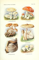 n490_w1150 (BioDivLibrary) Tags: botany amanita taxonomy:kingdom=fungi taxonomy:phylum=basidiomycota taxonomy:order=agaricales taxonomy:genus=lycoperdon taxonomy:class=agaricomycetes taxonomy:genus=amanita taxonomy:family=amanitaceae taxonomy:common=flyagaric taxonomy:binomial=amanitamuscaria taxonomy:binomial=macrolepiotaprocera taxonomy:genus=macrolepiota taxonomy:common=parasolmushroom taxonomy:genus=armillaria taxonomy:family=agaricaceae taxonomy:binomial=lycoperdonperlatum taxonomy:common=devilssnuffbox taxonomy:family=hymenochaetaceae taxonomy:order=hymenochaetales taxonomy:genus=phellinus taxonomy:binomial=phellinusigniarius taxonomy:family=physalacriaceae taxonomy:common=deathcap taxonomy:common=commonpuffball gersteinuniversityoftorontoarchiveorg taxonomy:common=parasol bhl:page=22538250 dc:identifier=httpbiodiversitylibraryorgpage22538250 taxonomy:common=grnerknollenbltterpilz taxonomy:common=lamanitephallode taxonomy:common=muchomrkazelen taxonomy:common= taxonomy:common=groeneknolamaniet taxonomy:common=muchomorzielonawysromotnikowy taxonomy:common=kavalakrpssieni taxonomy:common=lmskflugsvamp taxonomy:common=grnfluesvamp taxonomy:common=amanitetuemouches taxonomy:common=muchorizna taxonomy:common=muchoraz taxonomy:common=muchorjanc taxonomy:common= taxonomy:common=mojlafla taxonomy:common=muchomorczerwony taxonomy:common=rdeamunica taxonomy:binomial=armillariasolidipes taxonomy:common=dunklerhallimasch taxonomy:common=setamile taxonomy:common=larmillairedostoya taxonomy:common=mzgomba taxonomy:common=czubajkakana taxonomy:common=bedavysok taxonomy:common=grandecoulmele taxonomy:common=gemstuddedpuffball taxonomy:common=flaschenstubling taxonomy:common= taxonomy:common=gemeinerfeuerschwamm taxonomy:common=gyilkosgalca taxonomy:common=reigdefageda taxonomy:common=muchomrkaerven taxonomy:common=punanekrbseseen taxonomy:common=fliegenpilz taxonomy:common=somberehoningzwam taxonomy:common=opiekaciemna taxonomy:common= taxonomy:common=lrmiliredrdene taxonomy:common=foncyermilire taxonomy:common=bedlavysok taxonomy:common=gemeinerriesenschirmling taxonomy:common=coulemelle taxonomy:common=mazzaditamburo taxonomy:common=groteparasolzwam taxonomy:common=