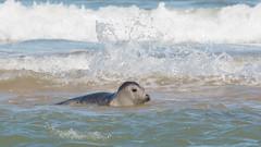 Grey Seal on Sand bar at Horsey Gap, Norfolk (Clive_Bushnell) Tags: anglia atlantic coast east greyseal horsey horseygap mammal marine norfolk northsea sand sea shore summer uk water beach canon 1diii ef300mm28is kenko 300dg 14x 2x iii
