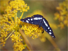 Southern white Admiral (Limenitis reducta) (P i n u s) Tags: pinus macro butterfly limenitisreducta southernwhiteadmiral blauschwarzereisvogel foeniculumvulgare wilderfenchel explore