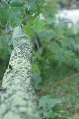 Power of Storms (pictureguy89) Tags: treelimbs branches lichen bryophytes tree stormdamage