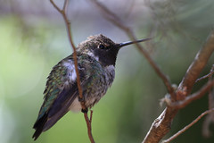 Hummingbirds in our Backyard - 4 (fksr) Tags: hummingbird bird sanrafael marincounty california