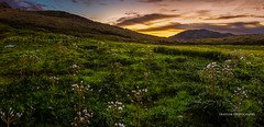 field of cotton (Traylor Photography) Tags: alaska landscape chugachstatepark willow flowers plants fishookroad hiking mountainside cotton sunset rocks palmer summitlake field
