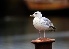 Herring Gull (9) (grahamh1651) Tags: newlyn newlynharbour tolcarne birds seabirds gulls swans waders shorebirds
