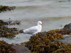 Herring Gull  P1030988 (LesD's pics) Tags: birds gulls seabirds