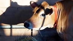 (amyshaffer1) Tags: cow bovine grangefair milk farm dairy shadow shadows hay nature animal farmer wrinkles
