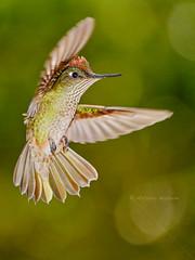 Green Backed Firecrown - male (Sephanoides sephaniodes), Zapallar, Chile (Arturo Nahum) Tags: greenbackedfirecrownmale sephanoidessephaniodes zapallar chile bird birdwatcher hummingbird birdinflight colibri picaflor