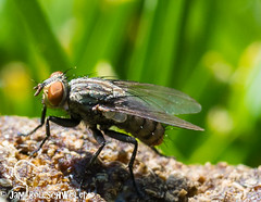 fly  on poo (cuddleupcrafts) Tags: fly insect macro poop photography up close red eyes