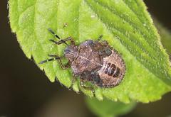 Hairy Shieldbug Final Instar Nymph (Prank F) Tags: cambourne wildlifetrust cambsuk wildlife nature insect macro closeup bug shieldbug instar nymph final hairy sloe dolycorisbaccarum