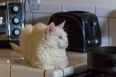 She's not allowed on the kitchen counters ;) (sue2028) Tags: cat cats white kitchen furry cute relaxed kitty pet animal
