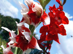August Gladiolus in Red / White (swetlanahasenjger) Tags: magicmomentsinyourlife doublefantasy saariysqualitypictures gladiolus sommerzeit himmelblau august naturesplus exquisiteflowers flowerarebeautiful coth coth5 thebestofmimamorsgroups