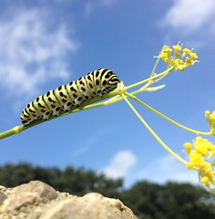 Move on up (Frank ) Tags: papiliomachaon koninginnepage vlinder caterpillar rups pop sky flowerplant flora fauna pappillon europe iphone makro macro clouds yellow blue butterfly farfalle swallowtail oldworldswallowtail