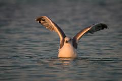 Entspannter Morgen (florianpluecker) Tags: vogel bird mallorca balearen es trenc gull mve flgel