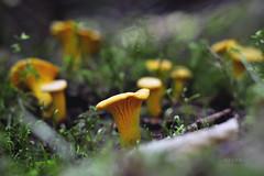 * Ce soir, c'est pole de girolles! * (-ABLOK-) Tags: girolle champignon champignons mushrooms mushroom fungi forest fort bois comestible auvergne france nature cueillette macro bokeh
