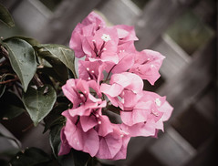 Happy Pink Tuesday.... (bonnie5378) Tags: flowers bougainvillea aug2016