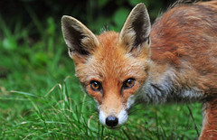 Becoming part of the landscape... (Ian A Photography) Tags: animals britishanimals fox juvenileanimals mammals nature redfox ukwildlife wildlife goldwildlife