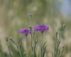 Bachelor's buttons (l'imagerie potique) Tags: limageriepotique poeticimagery desfleurssauvages wildflowers bokeh