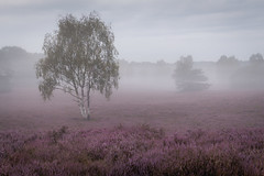 Westruper Heide | Germany (wiscmic) Tags: baum bäume fog germany landschaft natur nature nebel sommer summer tree trees landscape deutschland heidekraut naturschutzgebiet haltern heide nsg westruperheide nrw nordrheinwestfalen
