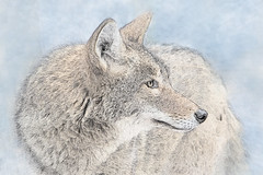 Coyote Photo Sketch (Patti Deters) Tags: mammal animal coyote minnesotazoo fourlegs predator sketch head ears alert profile coyotephotosketch texture artistic snout eye nose winter pattideters lobby hotel office cafeart