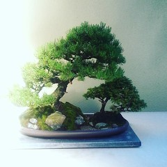 Mugo pine and ezo spruce #bonsai