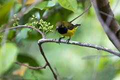 20160823-7D2_7683 (shutterblades) Tags: birds canon100400lmkii canon7d2 mandaizoo olivebackedsunbird riversafari singaporezoo