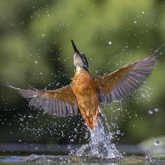 Kingfisher - Scotland (Mr F1) Tags: kingfisher alcedines johnfanning flight takeoff wings water fast action fishing