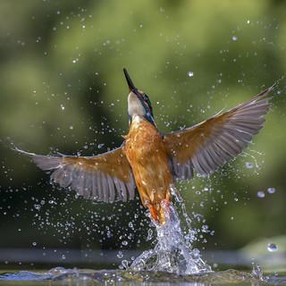 Kingfisher - Scotland