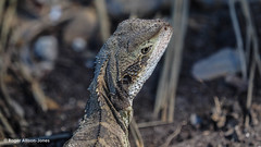 M2016451.jpg (Roger OZ) Tags: northernbeaches reptiles easternwaterdragon australia fauna sydneygreater newsouthwales cabbagetreebay shelleybeach places manly